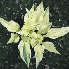 Hosta - Lakeside Zing Zang [I wonder how robust this is with so little chlorophyll? -JP]