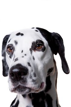 dalmatian    Like and repin please :)