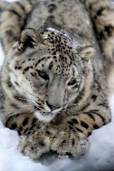 Snow Leopard. Lovely. I may need a tattoo of a snow leopard as well :P