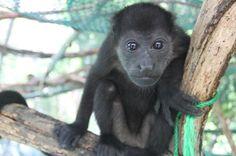 monkey straight stare   - Costa Rica