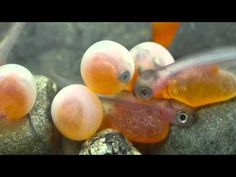 Coho Salmon hatching! - YouTube Fish Hatchery, White Salmon, Columbia River Gorge, Fresh Water, Youtube, Boards, Science, Content, Spring