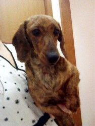 P.J. is a Dachshund.  She is a beautiful brindle color and is 2 years old.  She is a little shy at first but warms up to you when you're holding her. http://www.petfinder.com/petdetail/24750469