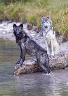 500px / Photo Wolfs  by garylsamples -- What? We aren't playing in the water.