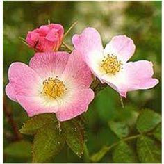 L'huile de rose musquée est une huile végétale, riche en acides gras essentiels, extraite des fruits du rosier rubigineux
