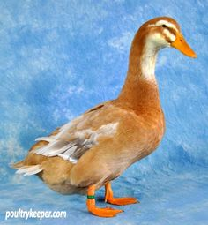 duck breeds photos | Saxony Ducks | Duck Breeds