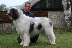 Ciobanesc Romanesc Mioritic. Saarloos, Komondor, Australian Cattle Dog, Old English, Collie, Bobby, Doggies, Adventure, Group