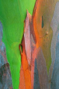 Cedric Pollet - The Mindanoan gum (or rainbow eucalyptus), located in the Philippines