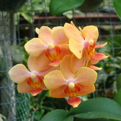 Wow!  LM13 Orchid Plant Ascps Jiaho's Orange BS
