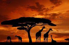 """Giraffe Sunrise"" Framed Black & White Print Of Giraffe. Giraffe Tattoos, Beautiful Scenery Pictures, Elephant Images, Safari Adventure, Desenho Tattoo, Foto Art, African Art, African Animals, Savannah Chat"