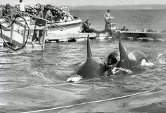 Two adult orcas desperately try to protect a juvenile orca during one of the many captures in the '70's.