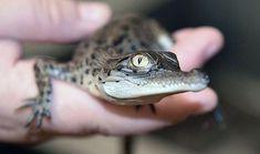 Image result for australian saltwater crocodile hatchling