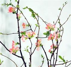 Quince Blossom Branches