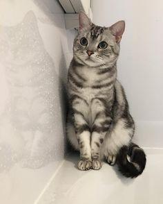 American Shorthair Cat Height