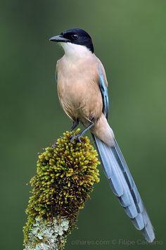 Pega-azul ou Magpie com asas-azuis (Cyanopica cyanus)- - Azure winged Magpie.