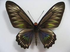 Palawan Birdwing or Triangle Birdwing, female upperside. Butterfly Species, Little Critter, Palawan, Polar Bear, Ladybug, Moth, Bugs, Creatures, Brooch