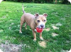 New York, NY - Pit Bull Terrier Mix. Meet Shay, a dog for adoption. http://www.adoptapet.com/pet/15350868-new-york-new-york-pit-bull-terrier-mix