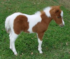 miniature horses for sale - page 205 Baby Horses, Mini Horses, Miniature Horses For Sale, Morgan Horse, Horse Saddles, Pretty Horses, Horse Breeds, Animal Tattoos, Show Horses