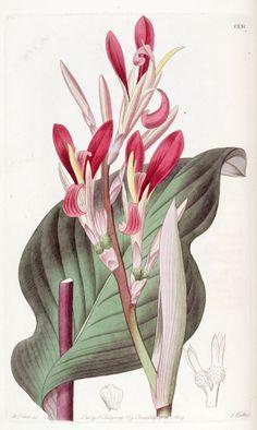 Himalayan Canna -- Circa 1829