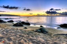 Laniakea beach, Hawaii..  Visit us on Facebook:  https://www.facebook.com/groups/imagesfromallovertheworld