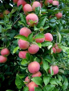 Nunca vi um pé de maçã ao vivo...