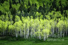 A Thousand Shades Of Green (Colorado) by The Forests Edge Photography - Diane Sandoval
