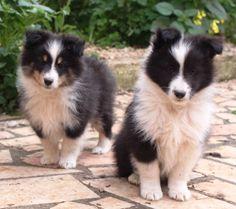 Sheltie (L) & Border Collie (R) puppies