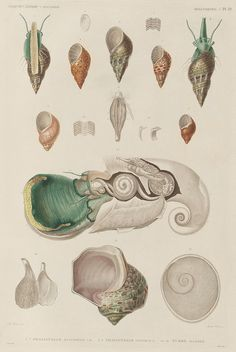 Hand-coloured illustrations of invertebrate marine animals from the phylum Mollusca, collected during a French expeditionary voyage in the 1820s. | BibliOdyssey