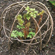 Make bent twig protective cages over tender shoots just coming up in the spring.