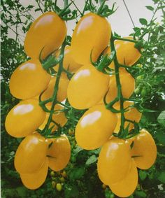 Yellow Pearl tomato variety