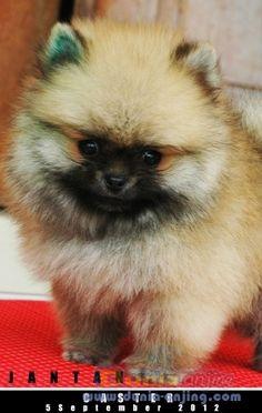 Miniature Teddy Bear Pomeranian   ... Anjing   Jual Anjing Pomeranian - 3 MINI POM JANTAN TEDDY BEAR FACE