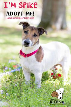 Spike, Adoptable Jack Russell Terrier | Georgia Jack Russell Rescue, Adoption & Sanctuary