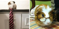 Cavy Cosplay: 11 Guinea Pigs Have Fun Playing Dress-Up http://www.wideopenpets.com/cavy-cosplay-11-guinea-pigs-playing-dress-up/