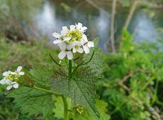Otra campeona de propiedades, la Ajera  (Alliaria Petiolata)