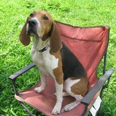 Kammie *SPONSORED!!* is an adoptable Treeing Walker Coonhound Dog in Lisbon, OH. Hi there. My name is Kammie. I am about2 years old and I weigh about 60 lbs. I was picked up as a stray in the Lisbon/...
