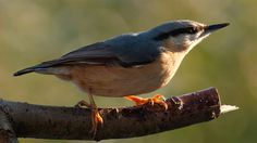British garden birds - Nuthatch
