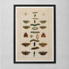 VINTAGE BUTTERFLY PRINT- Antique Nature Print - Caterpillar Print Butterfly Art Antique Natural History Print Wall Art Butterfly Print