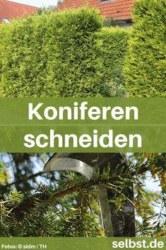 Die 249 Besten Bilder Von Koniferen Trees Shrubs Garden Shrubs