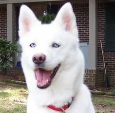 white husky with blue eyes - Bing Images
