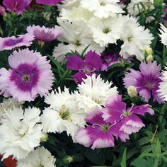 Blooms reliably in spring and fall, continuing through summer in cooler climates! 15 seeds $2.50 + $5 shipping (for under $10 total)