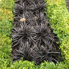 Black mondo grass forms a striking contrast with boxwood hedge.