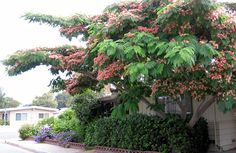 Albizia-Mimosa-Tree-or-Silk-Tree-Julibrissin - Modern Deciduous Trees, Trees And Shrubs, Trees To Plant, Albizia Julibrissin, Tree Id, One Tree, Persian Silk Tree, Mid Century Landscaping, Gardens