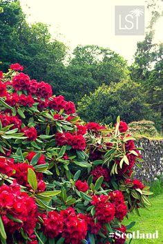 Red rhododendron in Scotland  Punainen alppiruusu <3