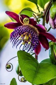 Passiflora, is one of the genera in the Passifloraceae family, with approximately 360 . - Passiflora, is one of the genera in the Passifloraceae family, with approximately 360 … - Strange Flowers, Unusual Flowers, Unusual Plants, Rare Flowers, Exotic Plants, Amazing Flowers, Beautiful Flowers, Beautiful Pictures, Flowers Garden