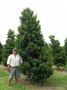 Fish Branch Tree Farm, Inc. | plantANT.com