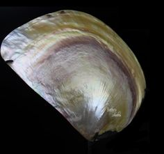 1 14-1 34 10.8 Ounces Sea Shells Decor Brown to Light Brown Markings Clam Shells Terrariums Beach Crafts