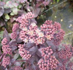Buy Sedum telephium (Atropurpureum Group) 'Purple Emperor' (Stonecrop) online from Jacksons Nurseries
