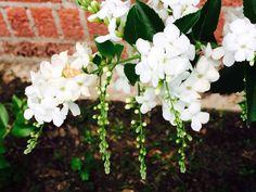 Duranta alba Duranta, Garden, Plants, Lawn And Garden, Gardens, Plant, Outdoor, Home Landscaping, Tuin