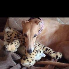 greyhound snuggles