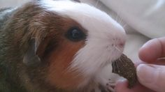 Homemade Guinea Pig Treats - add vitamin c for a daily treat supplement?