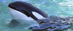 Seal Takes Over Boat To Escape Killer Whales [VIDEO]   The Daily Caller